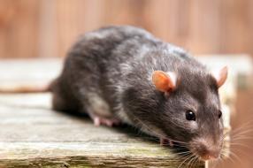 Kammerjäger München Ratten Rattenbekämpfung